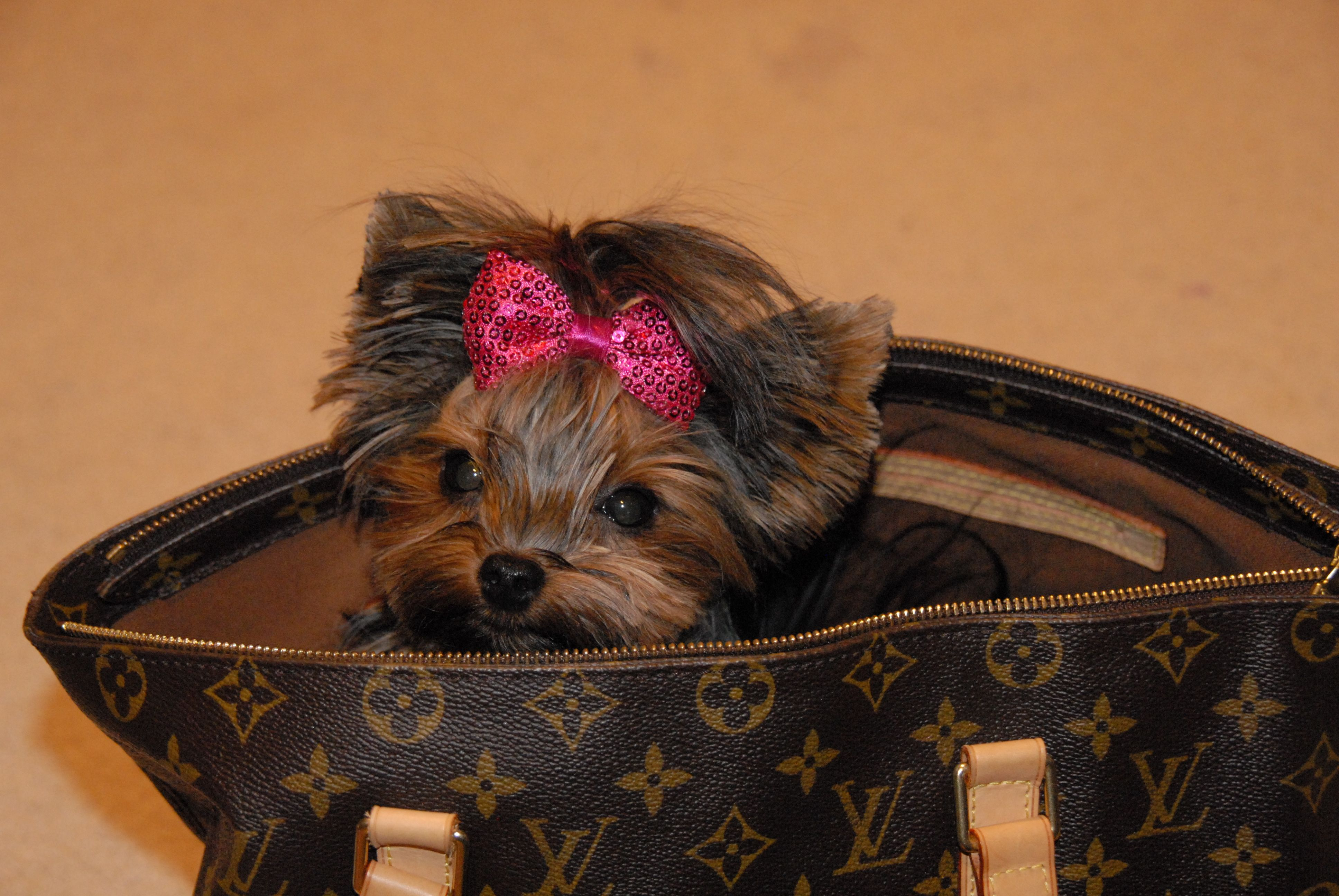 Yorkie Mix Puppies For Sale Mn Ideas