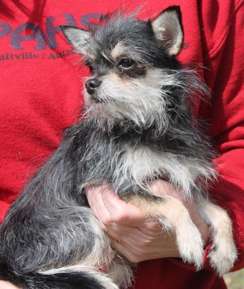 Meet Scrappy 22066 A Petfinder Adoptable Yorkshire Terrier Yorkie