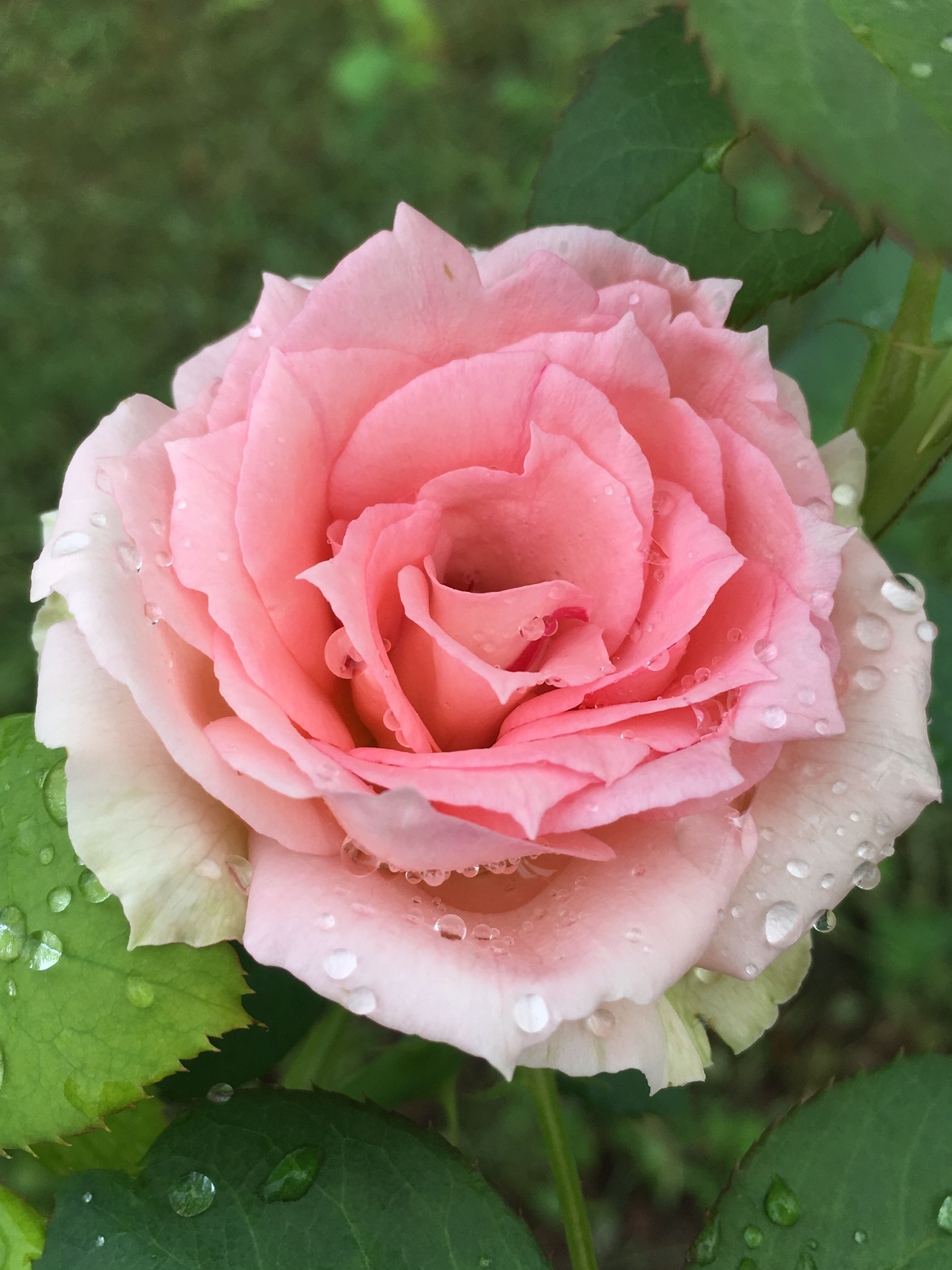 Pin By Pacu Chan On Roses Pinterest Flowers Beautiful Flowers