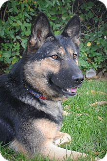 Adopt A Pet Nakita Denver Co German Shepherd Dog German
