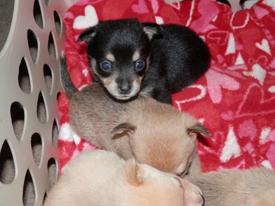 Pomchi Fur babies, Pets, Chihuahua