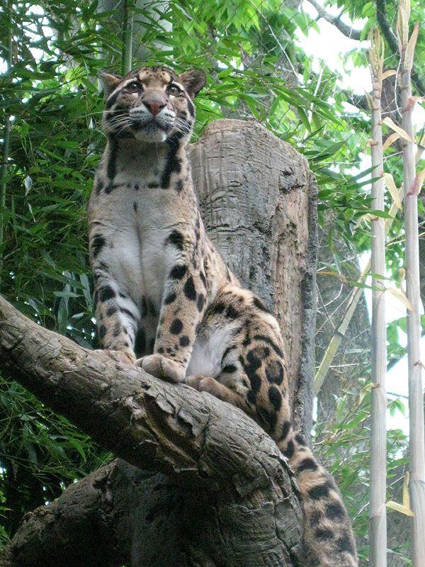 Clouded Leopard by KMCgeijyutsuka.deviantart.com on @DeviantArt