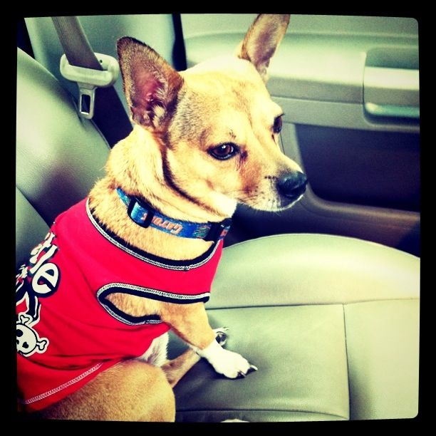 I have a RatCha (Rat terrier and Chihuahua mix) except black/brown and fluffy. His name is Nemo.