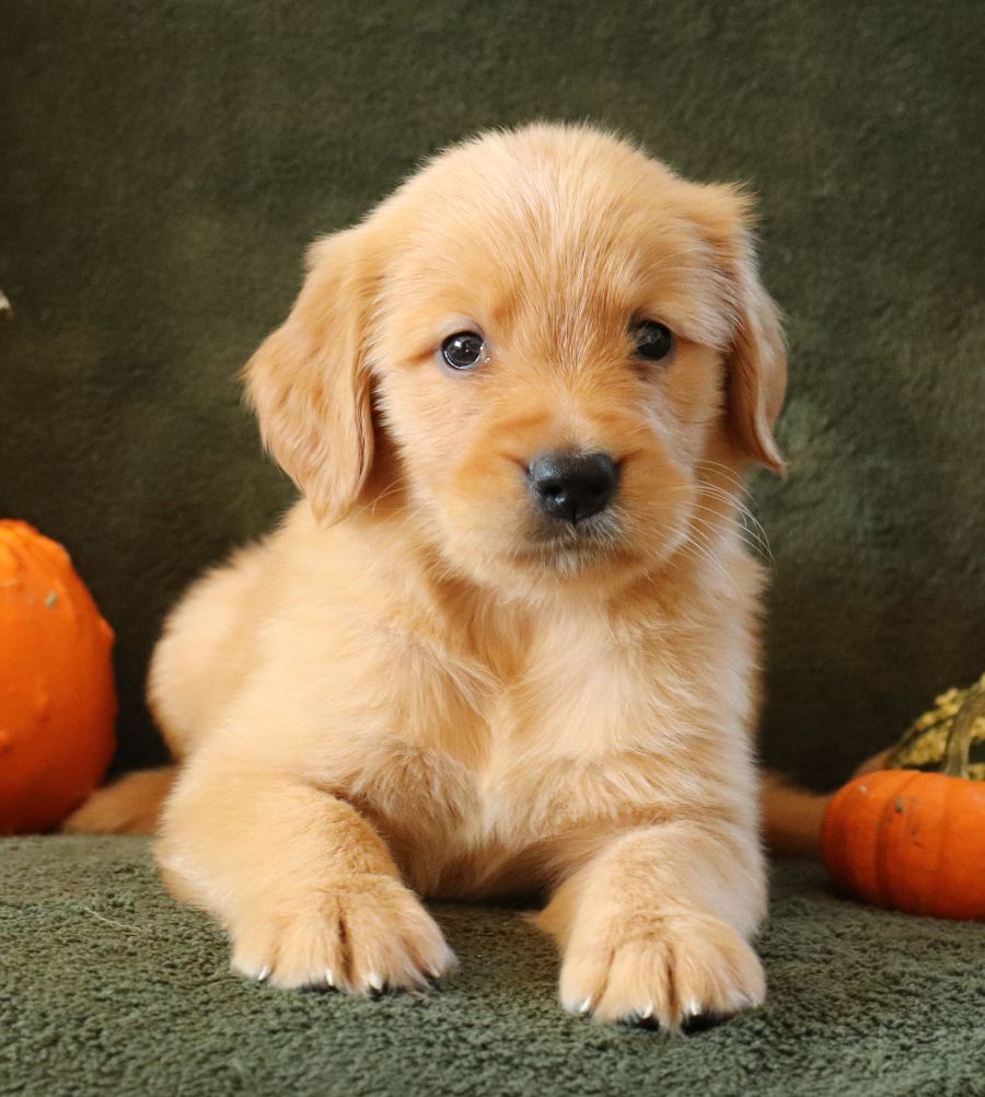 Tony Golden retriever, Puppies for sale, Puppies