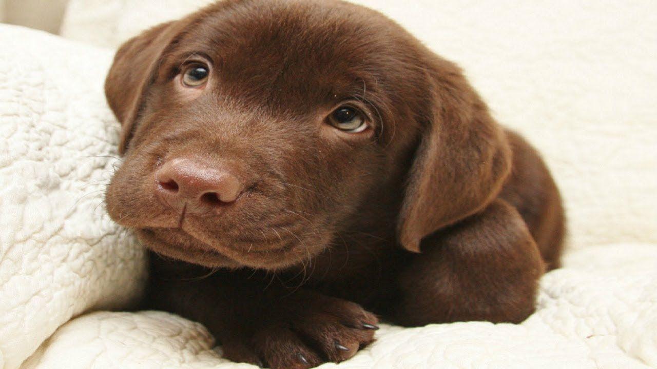 Cute Chocolate Labrador Puppies Youtube In 2020 Labrador Puppy Labrador Retriever Puppies Cute Puppy Videos