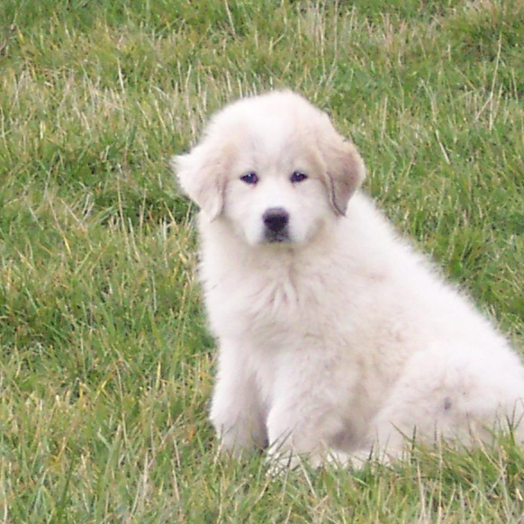 Great Pyrenees | Pirenei, Cani