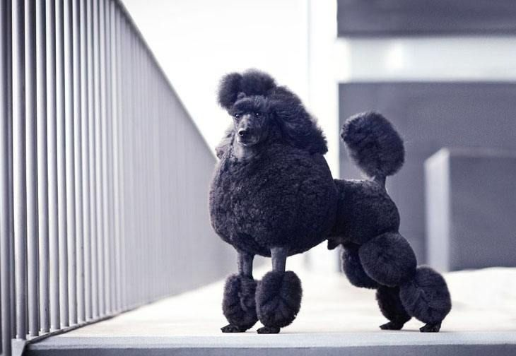 On A Scale Of 1 10 What Would You Give This Poodle For Beauty