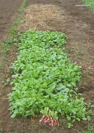 Semer les radis | Jardinage potager, Jardin permaculture, Jardin potager
