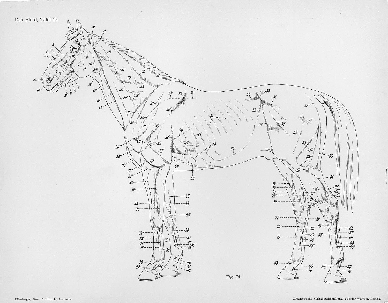 Anatomia animal comparada   De animales, Anatomía y Animales
