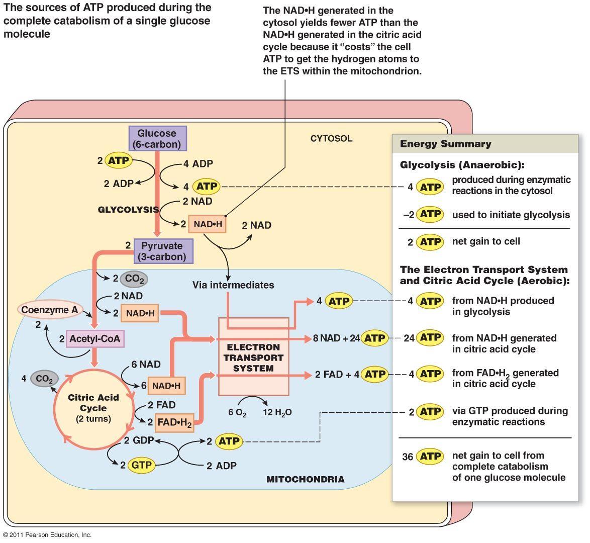 Glucose Metabolism Diagram Glucose Metabolism Diagram