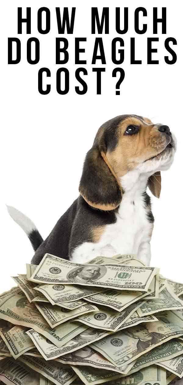 Beagle Puppy Cost In Pune - Votre Album Photos