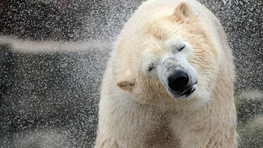 polar bear free download hd wallpapers