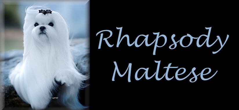 Rhapsody Maltese And Professional Handling Maltese Dogs Maltese Maltese Shih Tzu