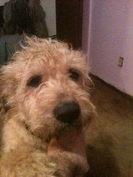 Adopt Mars On Terrier Dogs Airedale Terrier Terrier Rescue