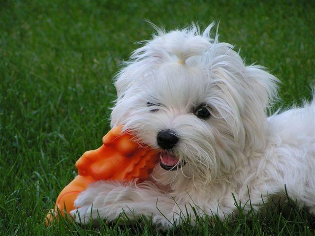 Welpen Malteser Zucht von der Lawies Puppies, Maltipoo