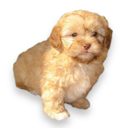 Shihpoo Shipoo Puppies Shih Poo Puppies Puppies For Sale