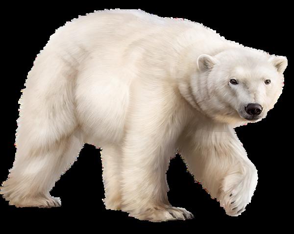 Ours Polaire Animals Polar Bear Bear