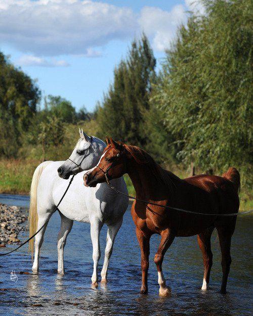 ألوان الخيل العربية ب يض وح مر وس ود مختلف ألوانها Cavalli Bellissimi Cavallo Arabo Cavalli