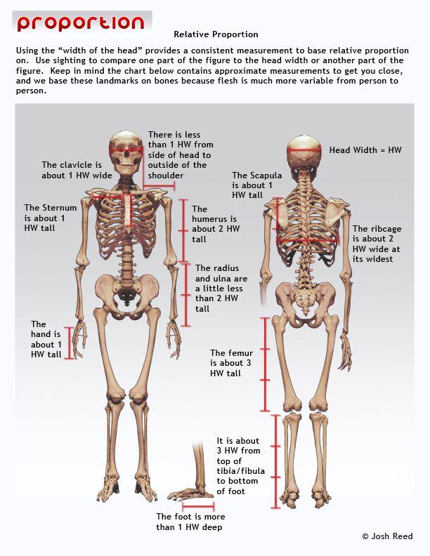 Drawsh: Relative Proportion | anatomy | Pinterest