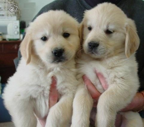 How cute are these Golden Retriever Puppies! Would you like to buy them?