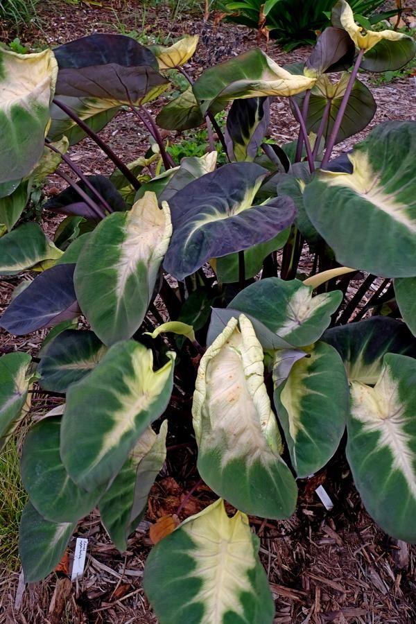 Elephant Ear Bulbs Perennial Colocasia Caladium Flower Dragonheart Tropical Rare