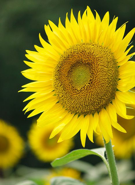 Sunflower..I love them