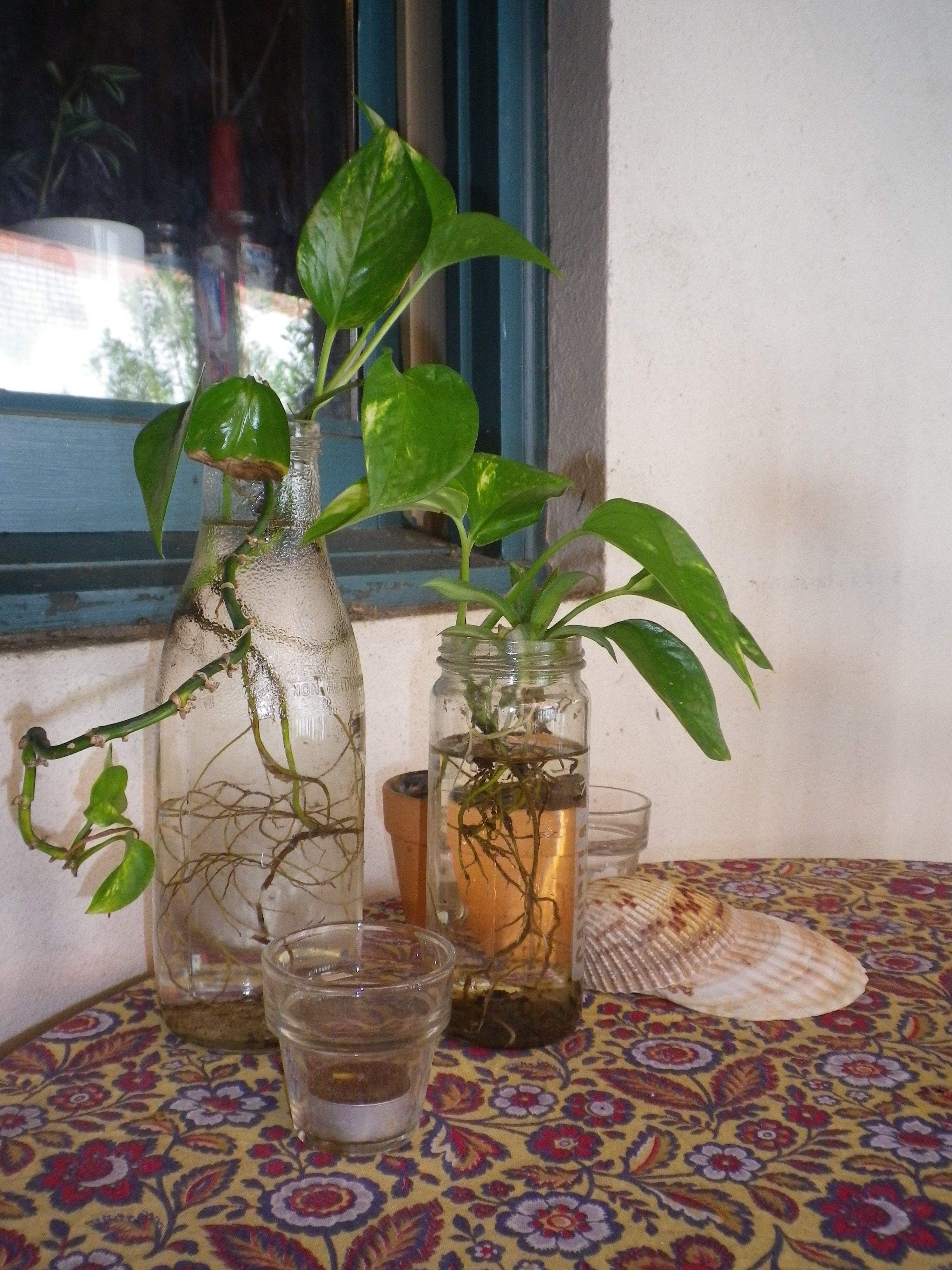 #Outdoor Table Display Golden Pothos Plants In Recycled Glass Jars,