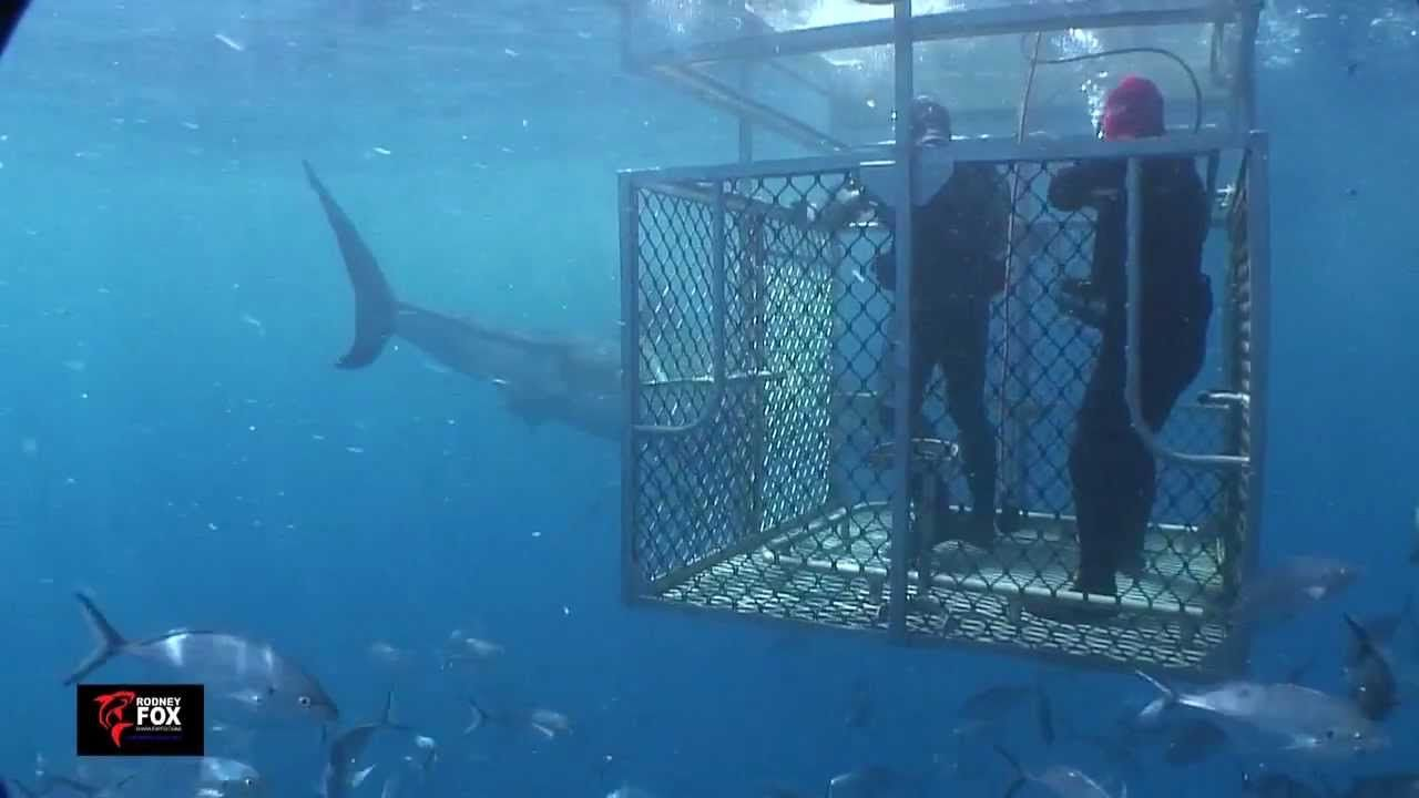 Diving with Great White Sharks Port Lincoln, South