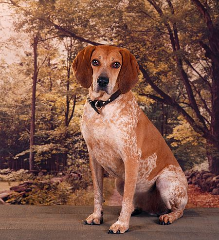 Redtick Coonhound Image Google Search Red Tick Coonhound