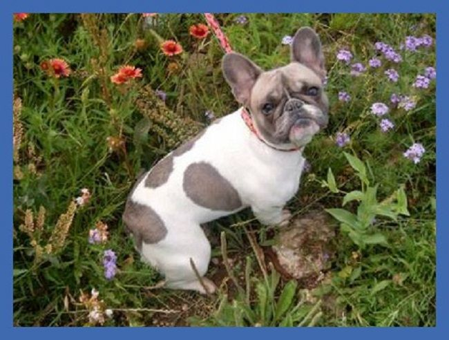 French Bulldog Puppies For Sale In Texas Zoe Fans Blog French