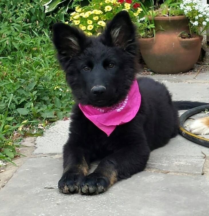 Pin By Bh Chew On Pup Beautiful German Shepherd Puppies