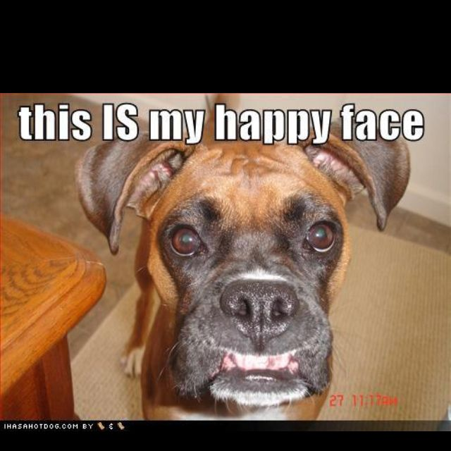 This Looks Like My Caroline Boxer Dogs Funny Boxer Dogs Boxer