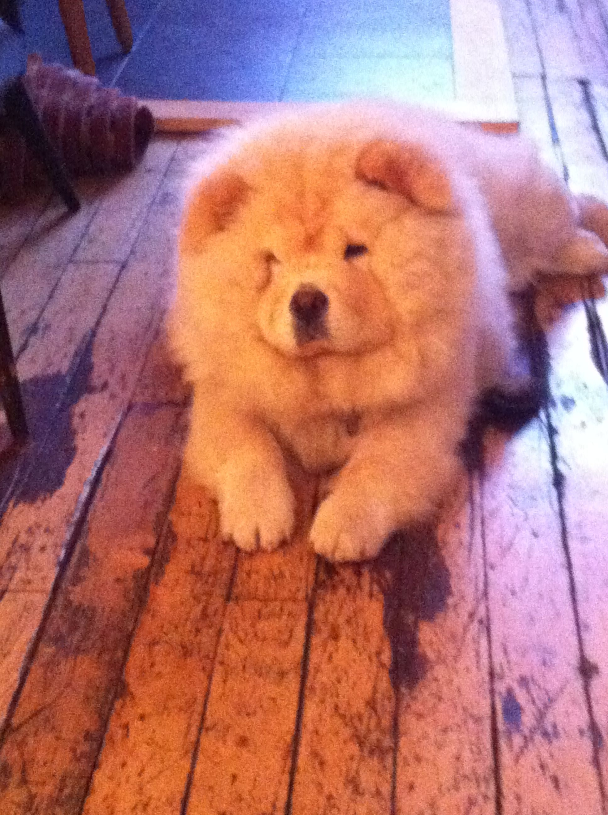 In The Office Chow Chow Pets Animals