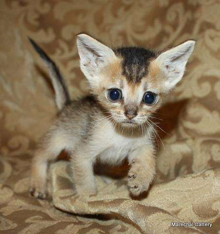 Chausie-Cute Hybrid Cats | List of Domestic and Wild Cat ...