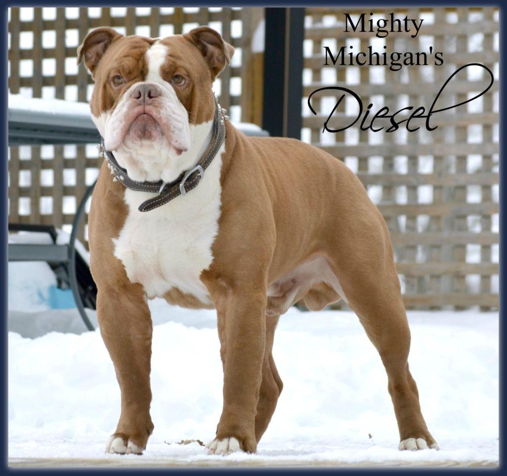 Diesel Bully Dog Puppies Old English Bulldog