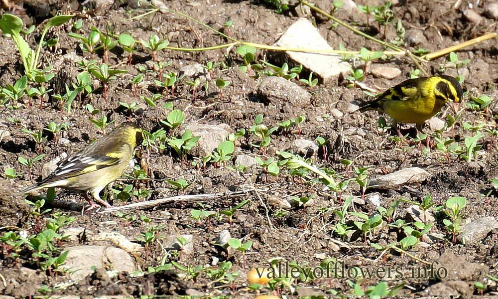 Yellow-breasted Greenfinch (Chloris spinoides