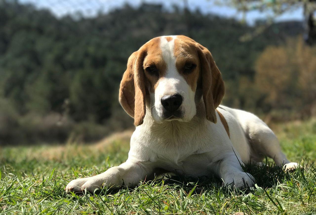 Beagle Types Of Beagles Beagle Dog Dog Names