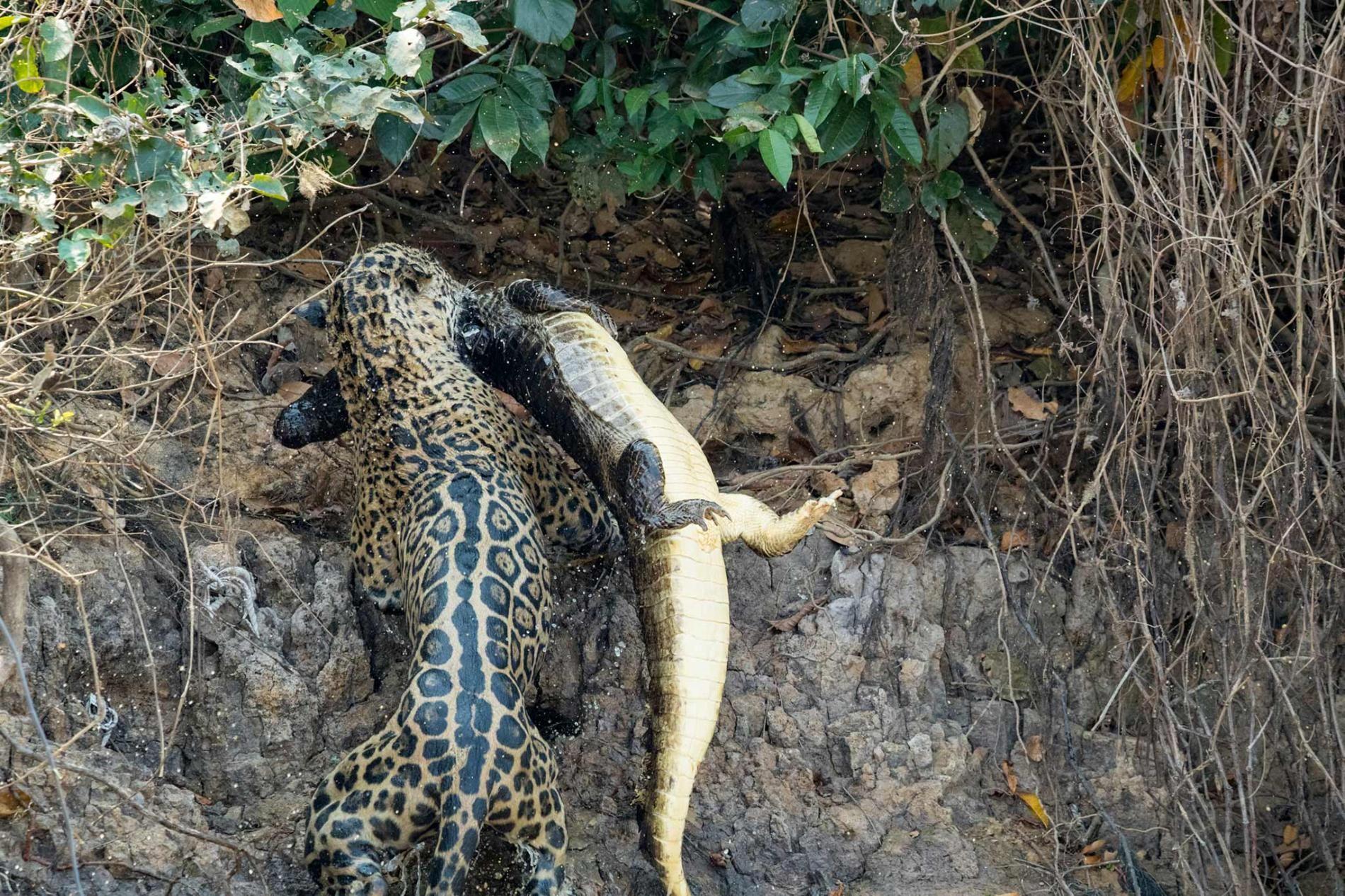 Photos Show Jaguar 'Scarface' Taking Down Dangerous Prey