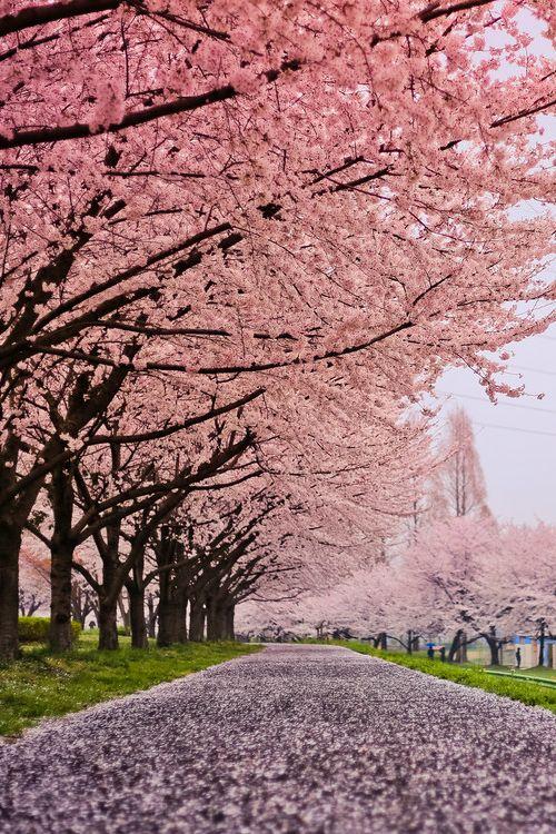 Cherry Blossom Snow, Kawagoe Aquatic Park, Saitama, Japan