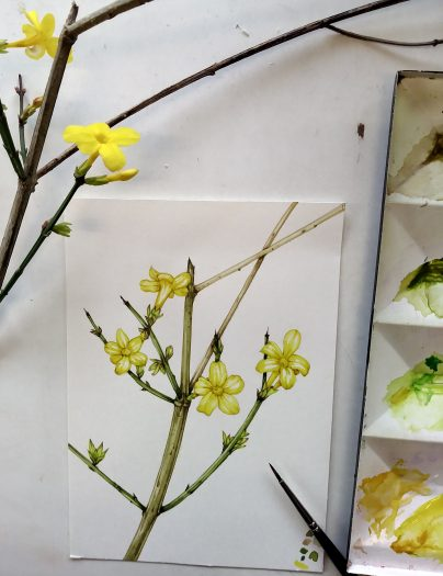 Step by Step winter jasmine sketchbook study Lizzie