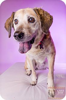 Golden Retriever Labrador Retriever Mix Dog For Adoption In Livonia Michigan Jan Dog Adoption Kitten Adoption Dogs