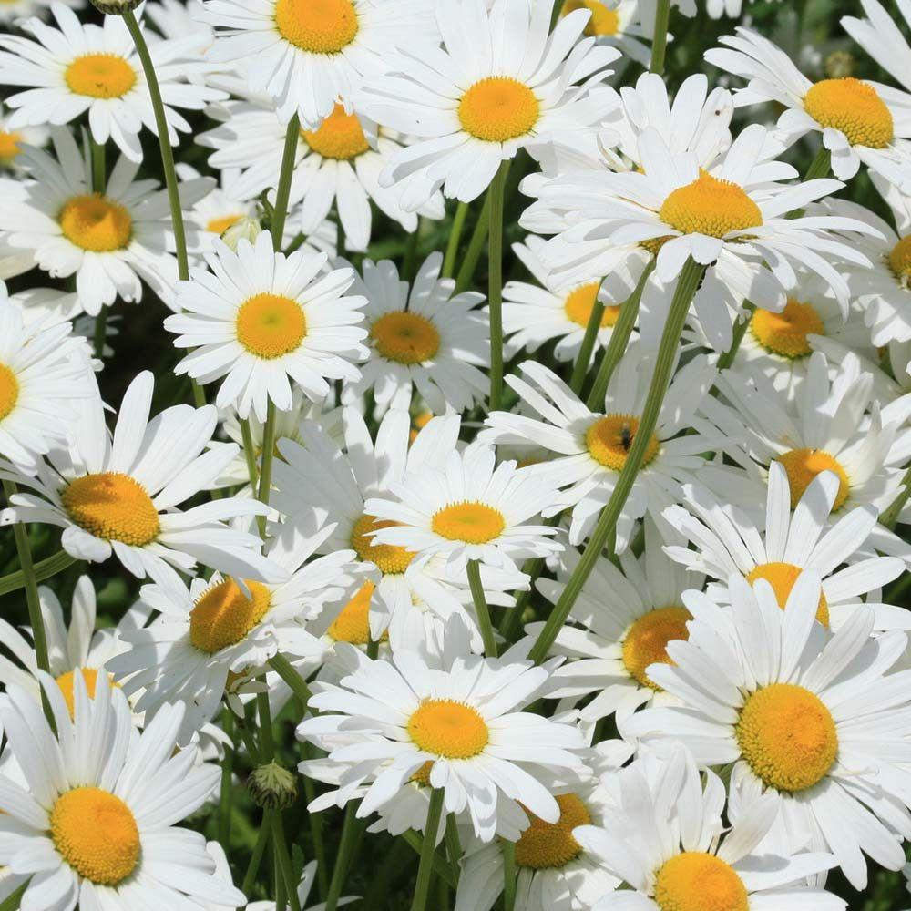 Shasta daisy seeds chrysanthemum seeds silver princess bulk flower shasta daisy seeds chrysanthemum seeds silver princess izmirmasajfo Images