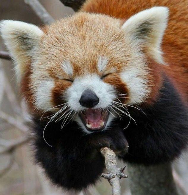 Red Panda Tiere Lachende Tiere Susse Tiere
