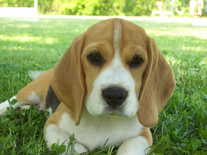 Beagles Rule Beagle Cute Puppies Cute Animals