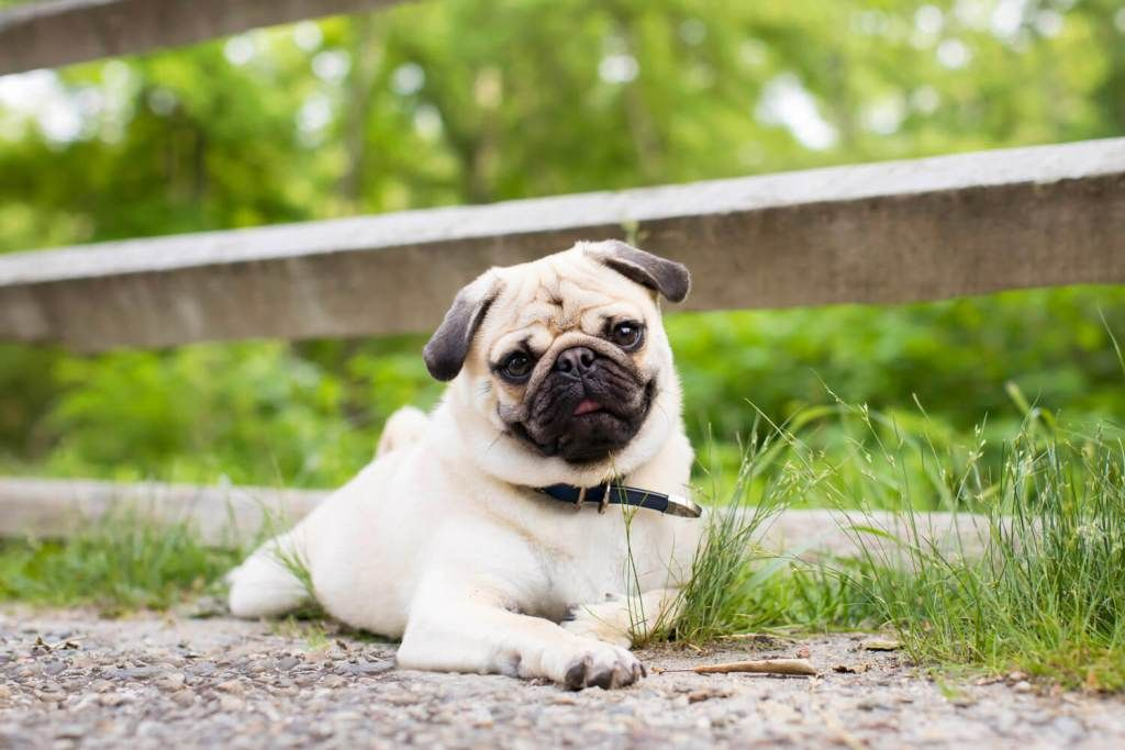 Dealing With A Shedding Pug In 2020 Pugs Pet Hair Eraser