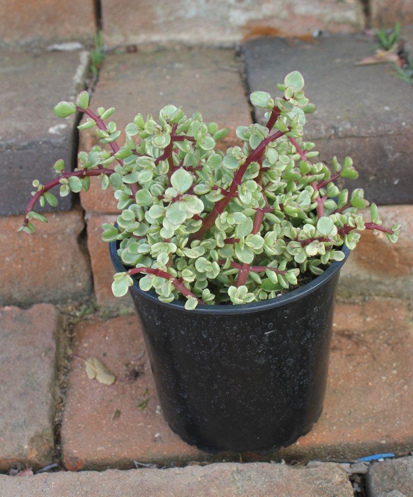 Bulk herbs wholesale - Variegata Portulacaria Afra Elephant Bush Succulent 1 Gallon