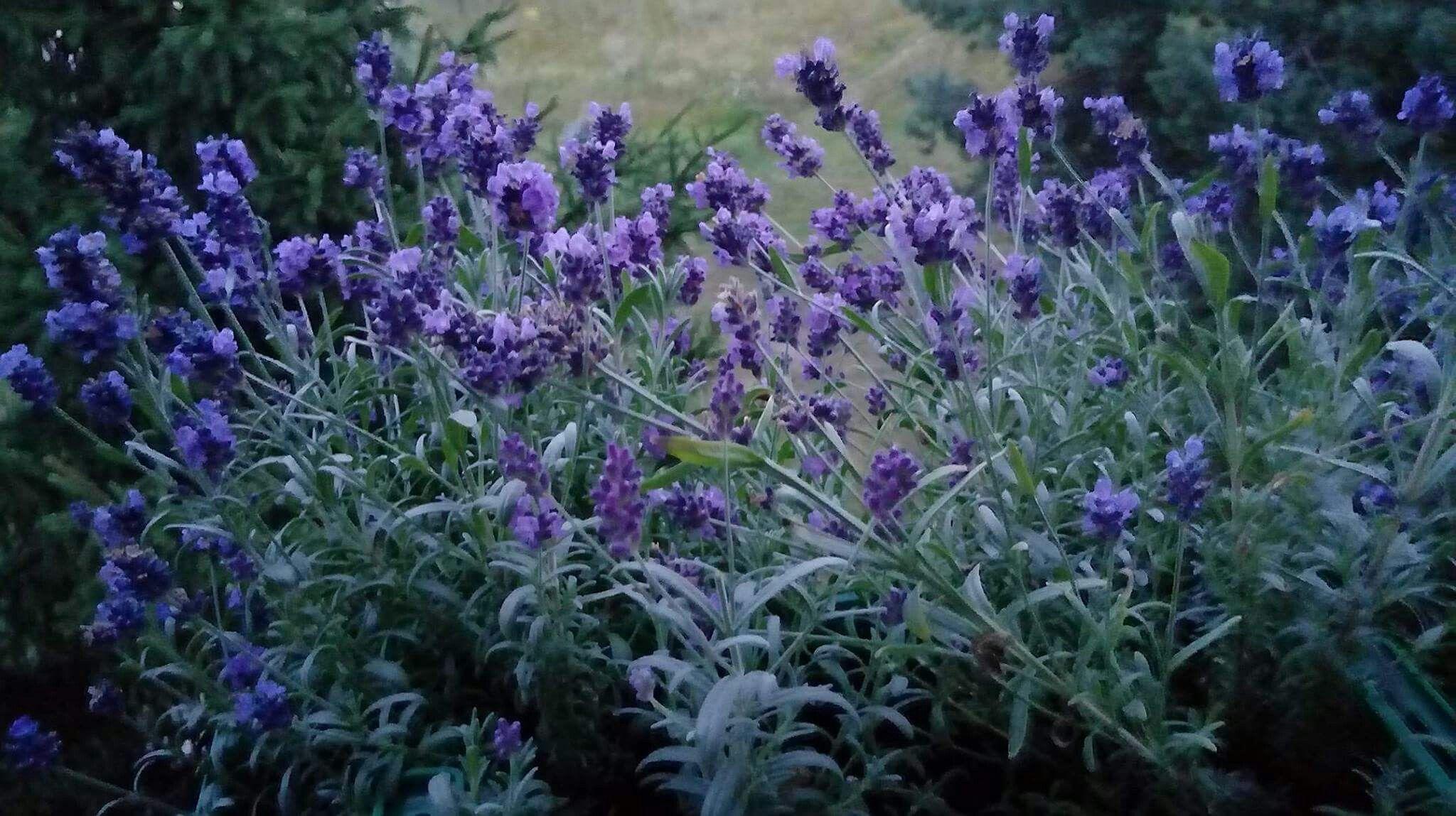 Lawenda Na Balkonie Plants