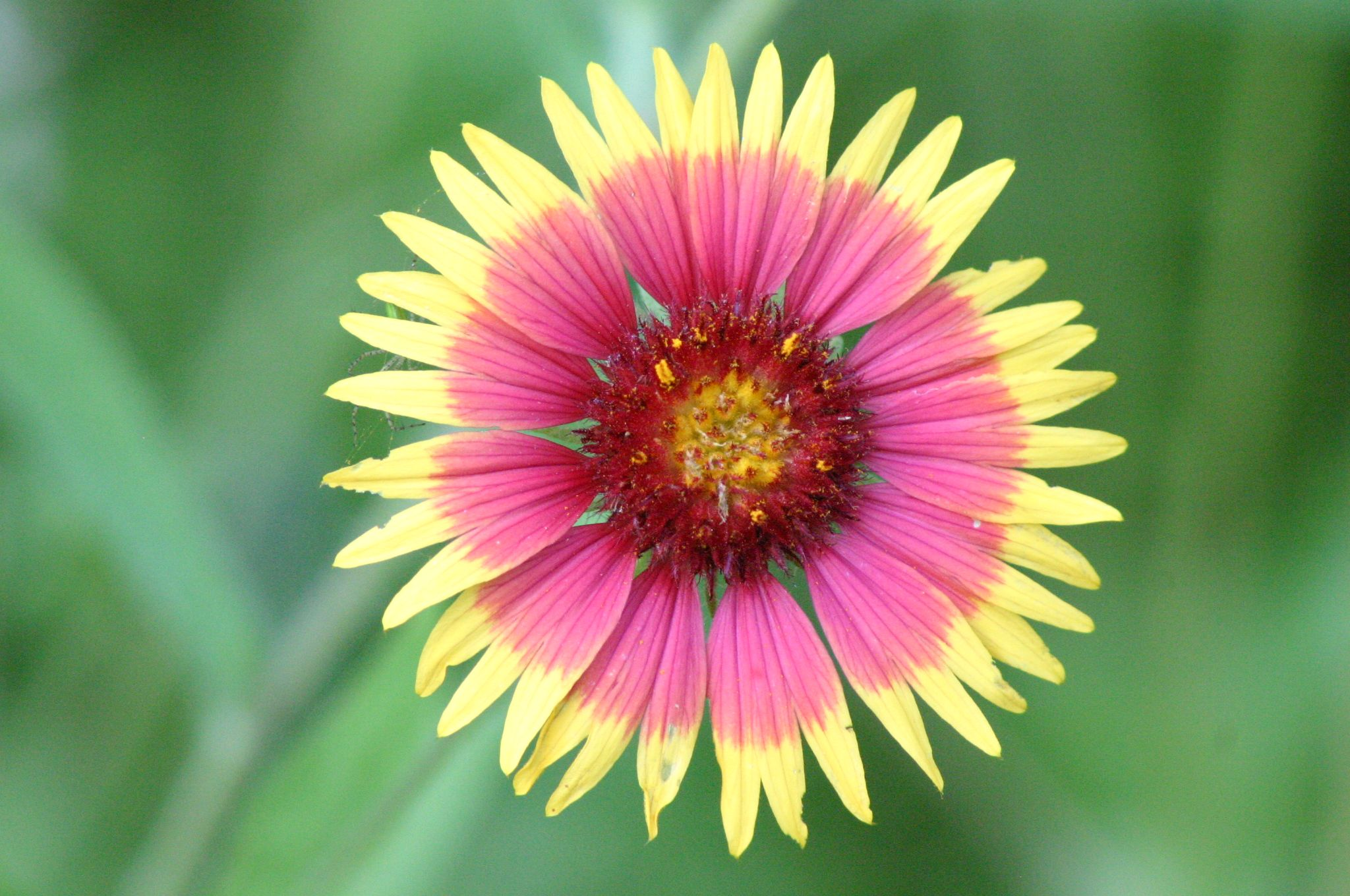The Gaillardia pulchella is the state flower of Oklahoma    History     The Gaillardia pulchella is the state flower of Oklahoma