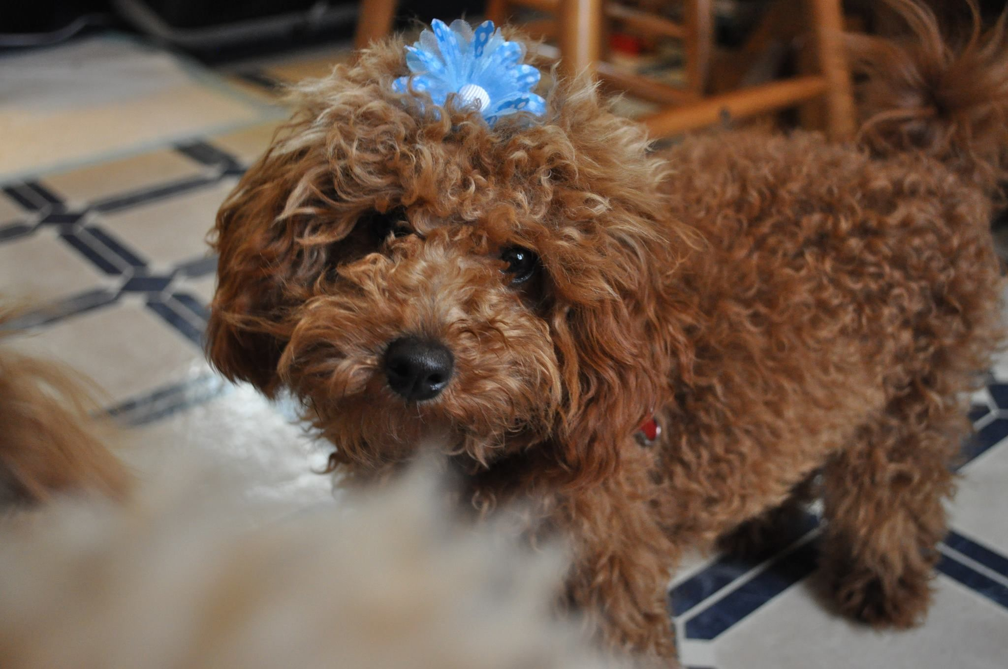 Little missy poodle poodle puppies for sale puppies