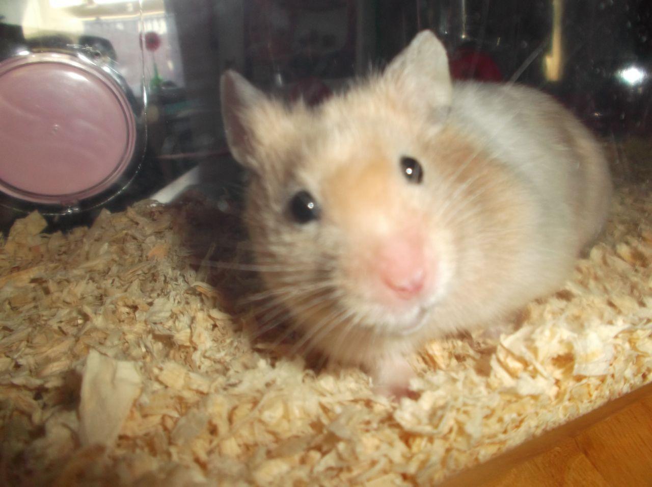 All About Syrian Teddy Bear Hamster House Care Toy Feeding Lifespan Bear Hamster Hamster Syrian Hamster